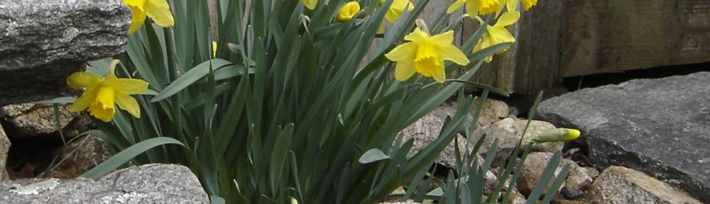 Daffodils in front of the outhouse bloom …