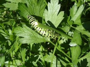 Herb Black Swallowtail